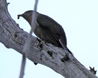 fantailed cuckoo cacomantis flabelliformis