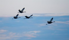 Four Flying Sandhill Cranes (imageClear) Tags: birds bif fly four cranes sandhillcranes nature wildlife sky clouds aperture nikon d500 80400mm imageclear flickr photostream