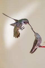 Hummingbird Kiss? (Jazzie's Dad) Tags: kiss touchingbeaks inflight feeders barkyard nature animals wild vivid tacksharp slb secretlifeofbirds