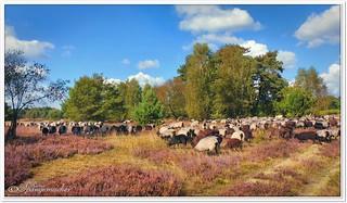 Des Schäfers große Herde