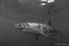 Her Name Was Cici (Ken Eaton) Tags: bite greatwhiteshark guadalupeisland mexico ocean scubadiving shark solomarv