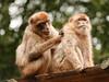Berberapen (ericderedelijkheid) Tags: ouwehandsdierenpark rhenen dierentuin zoo netherlands