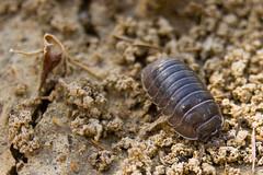 Bicho bola (Oniscidea) (Hanzo STD) Tags: sonyalphaa550 a550 euskadi basquecountry animals animales macro macros