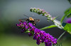 Imagine all the people living life in peace. (55-300mm) (knoxnc) Tags: butterflybush bokeh summer closeup outside nature hummingbirdmoth wings 55300mm flowersplants d5100 nikon specanimal