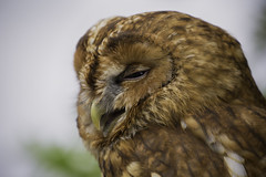 Tawny Close up