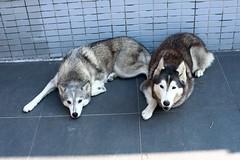 Huskies (superzookeeper) Tags: dog husky canoneos5dmarkiv 5dmk4 5dmkiv hk hongkong zeiss50mmf14zeplanart mf manualfocus planart1450 zeiss eos animal dogsofflickr digital favorites