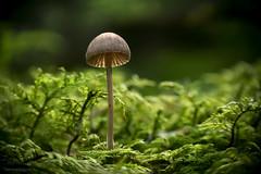 king in the moss (gnarlydog) Tags: adaptedlens kodakanastigmat63mmf27 fungi mushroom austria tiny moss closeup manualfocus macro nature shallowdepthoffield vintagelens
