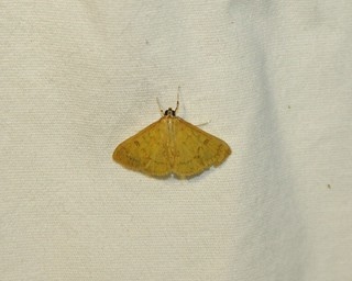 5155 Loxomorpha flavidissimalis, Moth