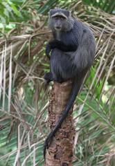 On The Lookout - Part 11 (AnyMotion) Tags: bluemonkey diademedmonkey diademmeerkatze cercopithecusmitis monkey affe 2015 anymotion lakemanyaranationalpark tanzania tansania africa afrika travel reisen animal animals tiere nature natur wildlife 7d2 canoneos7dmarkii lookout
