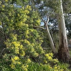 PHMP9297 (peterhut (Muirland Publishing)) Tags: garden australiannativeplants wattle