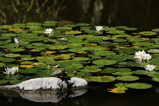 The turtle and the lilies.