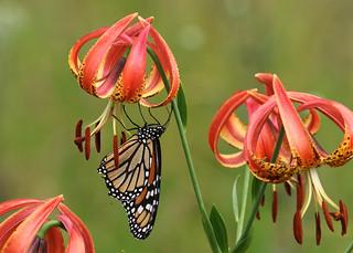 Sandhills Lily: Lilium pyrophilum