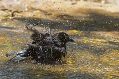 Bronzed Cowbird (Stephen J Pollard (Loud Music Lover of Nature)) Tags: molothrusaeneus tordoojorojo bronzedcowbird bird ave