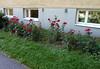 Päivä no:113 Reitti no:113 no:22 (neppanen) Tags: sampen discounterintelligence helsinginkilometritehdas helsinki suomi finland päiväno113 reittino113 reitti113 päivä113 maunula kukkia flowers