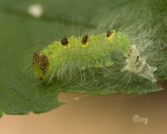 ochre dagger (crgillette77) Tags: pennsylvania bradfordcounty caterpillar ochredagger acronictamorula elm molt