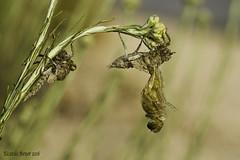 Emergencia O. cancellatum (13) (Ricardo Menor) Tags: anisópteros libélulas emergencia villena alicante orthetrumcancellatum elcoto elcoto2016 villena2016 junio2016 canon60d emergenciaorthetrumcancellatum