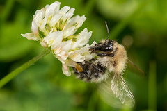 Bumblebee (Bombus cf pascuorum) (The LakeSide) Tags: insect macro nikon r1c1 d7100 bee bumblebee bombus pascuorum