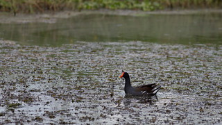 Common Gallinule, Florida, FL MG_2732