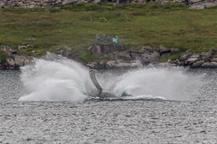 Humpback whale landing (Jonas Ottos) Tags: whale humpback megapteranovaeangliae iceland adventure westfjords