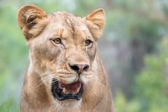 Lioness Close-Up (helenehoffman) Tags: pantheraleo conservationstatusvulnerable felidae sandiegozoosafaripark mammal lion cat lioncamp africa carnivore bigcat animal coth coth5 ngc npc