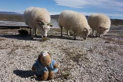 Meeting locals in Hveravellir (kris-mikael.krister) Tags: iceland hveravellir sheep