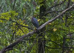 081217053664asmweb (ecwillet) Tags: greenheron heron wildwoodparkharrisburgpa nikon ecwillet ericwillet