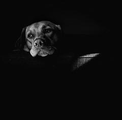 Oh, Johnny! III (Dan-Schneider) Tags: blackandwhite bw dog monochrome light dream schwarzweiss noir sun shadow mood