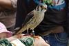 2017-08-06 14-40-16 _K1_4103ak (ossy59) Tags: k1 pentax oberursel oberurselerfeyerey dfa hdpentaxdfa28105mmf3556eddcwr 28105 buntfalke amerikanischerturmfalke falcosparverius falke falcon halcon kestrel americankestrel
