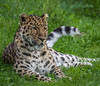 Amur Leopard (Panthera pardus orientalis) (neil 36) Tags: amur leopard panthera pardus orientalis critically endangered southeastern russia northeast china iucn red list can we save animals help us