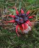 Starfish fungi (Ann Jacobs) Tags: anemone stinkhorn red starfish aseroe