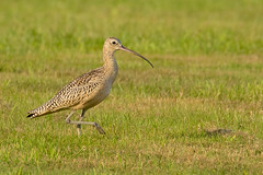 Long-billed Curlew, Boundary Bay, BC.CR2 (JohnReynolds2012) Tags: bird birds vancouver animals wildlife bc canada 2017 delta britishcolumbia ca