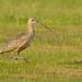 Long-billed Curlew, Boundary Bay, BC.CR2 (JohnReynolds2012) Tags: bird birds vancouver animals wildlife bc canada 2017 delta britishcolumbia ca