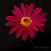A Little Ray of Sunshine (Dave Whiteman - AU) Tags: africandaisy daisy flower lightbox floral nature