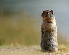 at attention (fred.colbourne) Tags: groundsquirrel animal wildlife grass banffnationalpark alberta