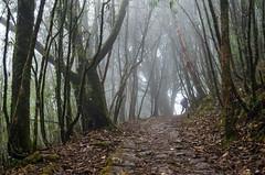 these woods are lovely, dark and deep ... [EXPLORE] (eyenamic) Tags: forest mist path road way trees trek sandakphutrek woods dhotrey singalilanationalpark nikon d5100