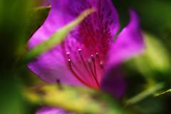 """在清迈_ (30) (katushang) Tags: thailand thai chiangmai d800e 105mmf28 105mmaf28gedvr 105mm 105mmf28gedvr 105mmaf28g macro flower plant color colorful """"bhubing palace"""" garden pink 2017 泰国,2017,summer"""