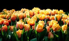 Flower Power - Amsterdam (petefotografia) Tags: flowers flores amesterdam amesterdão nature natureza naturalpark europa canon 5d 50mm