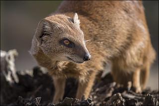 Mongoose Portrait