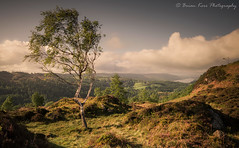 Dreamland (.Brian Kerr Photography.) Tags: cumbria lakedistrict landscapephotography coniston conistonwater photography photo lakes landscape sony a7rii availablelight birches birchtree briankerrphotography briankerrphoto nature naturallandscape natural nationalpark mountains sky clouds light