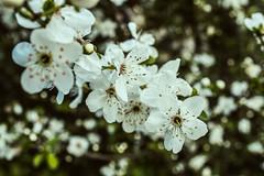 Little Flower / Pequeña Flor (Geoffrey Morier) Tags: little flower white green colors san cristobal eos rebel cam raw reflex t6 lovely macro flor pequeña blanca verde santiago region metropolitana