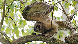 Great Horned Owlet Stretch
