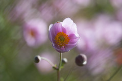 Summer Fantasy (Anemone) (milance1965) Tags: anemone herbstanemone macro nikon d90 sigma 105mm sommer summer time fantasy colors colours color pink