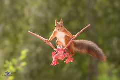 squirrel sits on a flying dragon (Geert Weggen) Tags: red nature animal squirrel rodent mammal cute look closeup stand funny bright sun backlight walk tail travel departure leave missed up rise ballast holiday journey trip tour drive run castle games thrones building bird nopeople photography dragon catapult attack sweden geert weggen jämtland bispgården ragunda