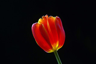 IMGP1126 Tulip
