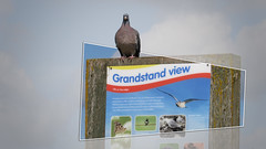 Life on the Edge (devonpaul) Tags: pigeon sign ironic irony exmouth budleigh coastal footpath funny grandstandview grandstand view