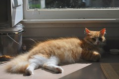 Spotlight on Jimmy's shimmering orange hairs. (rootcrop54) Tags: jimmy orange ginger tabby male cat shimmer glitter shine sunlight happy neko macska kedi 猫 kočka kissa γάτα köttur kucing gatto 고양이 kaķis katė katt katze katzen kot кошка mačka gatos maček kitteh chat ネコ shimmering shiny