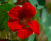 Red nasturtium. (Calusarul) Tags: august flower garden majus outdoor outdoors red summer tropaeolum tropaeolummajus va virginia nasturtium unitedstatesofamerica us