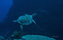 Swimming along a coral wall (kyshokada) Tags: turtle hawksbillturtle reef astrolabereef fiji underwater colas pacific scuba diving sony a7 animalplanet