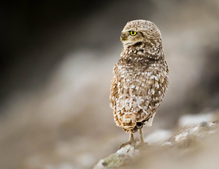 Burrowing Owl (Explored)