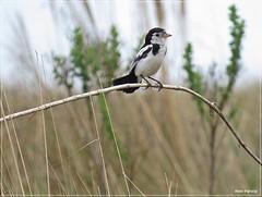 Alectrurus tricolor - galito4 (Conexão Selvagem) Tags: observaçãodeaves serra canastra parque nacional cerrado aves bird wildlife galito rapina gavião nature natureza do avesdobrasil